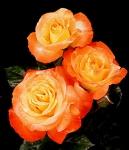Chihuly florabunda rose