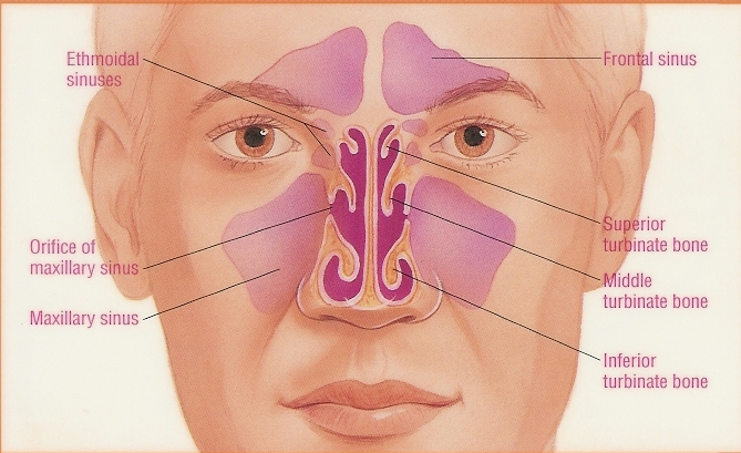 Vegging out by doctors orders julie lomoe the creative crone the nose and sinuses will have sinuses diagram ccuart Image collections