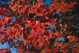 November smoke tree