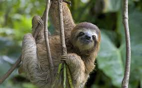 Sloth three-toed