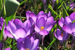 Crocuses Ruby Giant purple