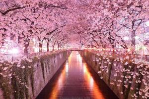 Cherry blossom tunnel, Sakuru, Japan