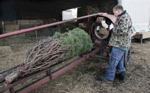 christmas-trees-abundant-but-consumers-might-find-higher-price-tags-2